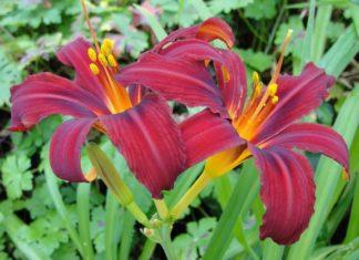 Неприхотливые красавцы лилейники: выращиваем с удовольствием