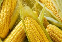 Выбор семян кукурузы