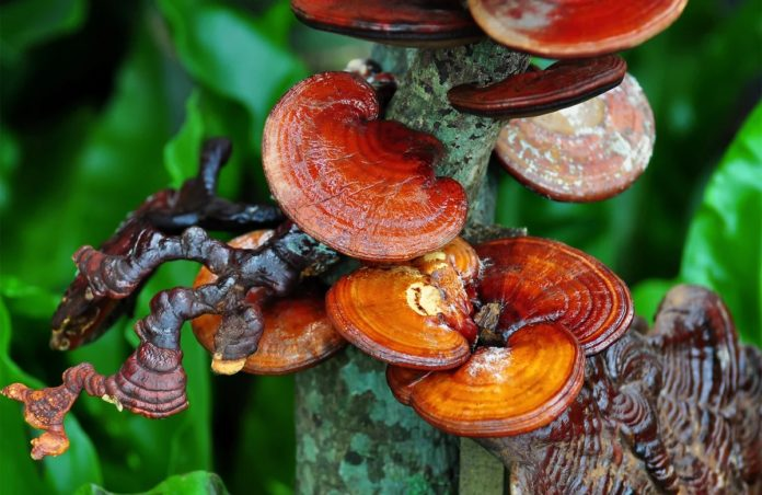 Король грибов – гриб Рейши!