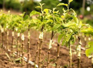 Критерии выбора саженцев фруктовых деревьев